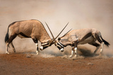 Intense Fight between Two Male Gemsbok on Dusty Plains of Etosha Photographic Print by Johan Swanepoel