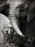 Elephant Splashing Water with Trunk - Etosha National Park (Namibia) Photographic Print by Johan Swanepoel