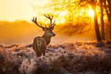 Red Deer in Morning Sun. Fotoprint van  arturasker