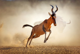 Red Hartebeest Running in Dust - Alcelaphus Caama - Kalahari Desert - South Africa Photographic Print by Johan Swanepoel