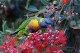 Rainbow Lorikeet Eating the Nectar from Red-Flowering Gums Photographic Print by Jun Zhang