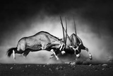 Gemsbok Dual (Artistic Processing) Photographic Print by Johan Swanepoel