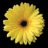 Gerbera Daisy Yellow Fotografia por Jim Christensen