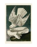 Iceland or Jer Falcon Prints by John James Audubon