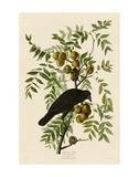 American Crow Posters af John James Audubon