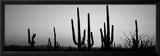 Silhouette of Saguaro Cacti (Carnegiea Gigantea) on a Landscape, Saguaro National Park, Tucson Framed Photographic Print