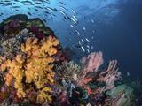 Coral reef with schools of fish, Raja Ampat, Indonesia Fotografisk tryk af Stocktrek Images,