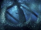 A cormorant swims through baitfish under the oil rigs in Southern California Fotoprint van Stocktrek Images,