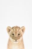 Baby Lion Poster af  Tai Prints