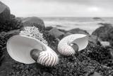 Crescent Beach Shells 2 Reproduction photographique par Alan Blaustein