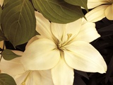 Lily and Leaves Photographic Print by Rebecca Swanson
