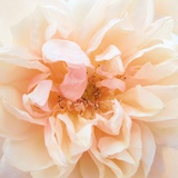 Promise Rose Photographic Print by Rebecca Swanson