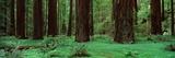 Redwoods, Rolph Grove Valokuvavedos tekijänä Alain Thomas