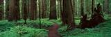 Redwoods Path Valokuvavedos tekijänä Alain Thomas