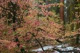 Dogwoods & Sequoia Valokuvavedos tekijänä Alain Thomas