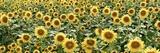 Tuscan Sunflower Pano 1 Fotografie-Druck von Alan Blaustein