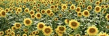 Tuscan Sunflower Pano 1 Photographic Print by Alan Blaustein