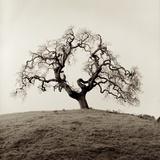 Sonoma Oak 2 Reproduction photographique par Alan Blaustein