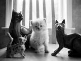 Ragdoll Kitten Reproduction photographique par Kim Levin