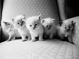 Cinq chatons Reproduction photographique par Kim Levin
