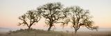 Oak Tree 30 Reproduction photographique par Alan Blaustein