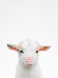 Baby Goat Fotografie-Druck von  Tai Prints