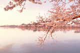 Cherry blossoms at the lakeside, Washington DC, USA Fotoprint av Panoramic Images,
