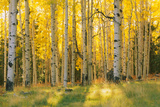 Aspen trees in a forest, Coconino National Forest, Arizona, USA Photographic Print by  Panoramic Images