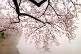Cherry blossoms at the lakeside, Washington DC, USA Fotografie-Druck