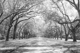 Live Oaks and Spanish Moss Wormsloe State Historic Site Savannah GA Premium fotografisk trykk