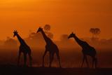 Giraffes Silhouetted at Twilight Vægplakat af Beverly Joubert