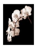 Orchid Dance II Fotografisk tryk af John Rehner
