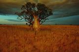A Boab Tree Vægplakat af Sam Abell