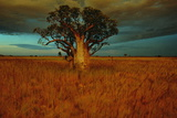 A Boab Tree Wall Mural by Sam Abell