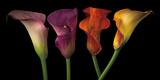 Jewel Calla Lilies Fotografie-Druck von Assaf Frank