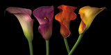 Jewel Calla Lilies Photographic Print by Assaf Frank