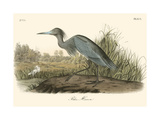 Blue Heron Posters por John James Audubon