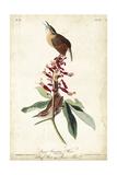 Great Carolina Wren Posters by John James Audubon