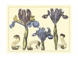 Iris in Bloom II Affiche par  Langlois