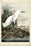 Snowy Heron Prints by John James Audubon