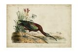 Glossy Ibis Posters by John James Audubon
