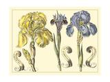 Iris in Bloom I Affiche par  Langlois