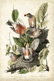 Audubon's American Robin Art by John James Audubon