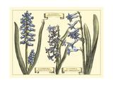 Hyacinth in Bloom Affiches par  Langlois