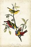 Painted Bunting Julisteet tekijänä John James Audubon