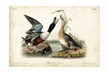 Audubon Ducks I Posters by John James Audubon