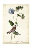 Grey-crowned Purple Finch Prints by John James Audubon
