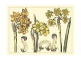 Narcissus in Bloom I Affiches par  Langlois