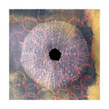 Seashell-Urchin Prints by Elena Ray