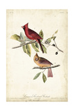 Common Cardinal Grosbeak Posters by John James Audubon